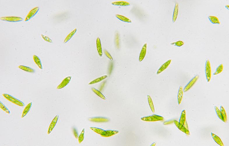 compatibilité des photobioréacteurs avec différentes espèces de microalgues